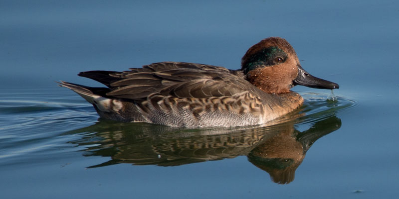 D120_Green-WingedTeal