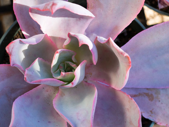 D134_Succulent