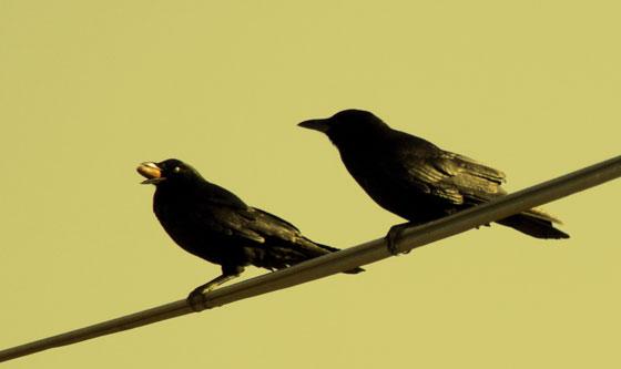 D152_Crows
