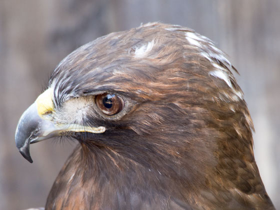 D188_Red-TailedHawk