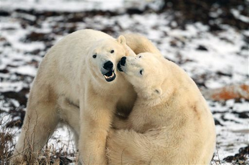 Polar Bears for explore.org edited by Annie and Miklos Wright of Media66