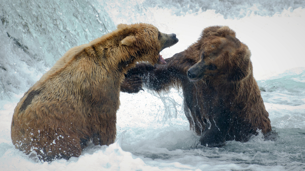 BearFight_Stock_Fotor.jpg