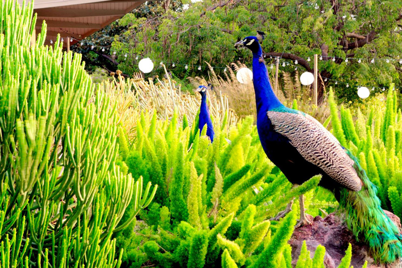 LA Arboretum Places To Go In LA Peacocks.jpg