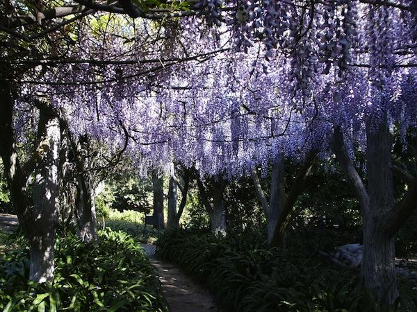 Huntington Library Gardens Wisteria Arbor.jpg