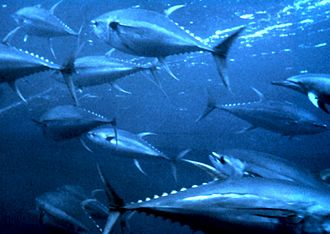 These yellowfin tuna are schooling in the ocean. Other yellowfin tuna are schooling in a giant tank at URI's School of Oceanography. It's exciting to watch.