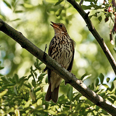 A song thrush, a species that's  common in Europe.
