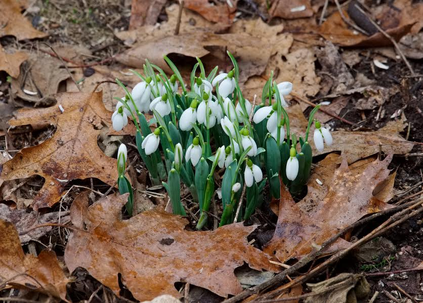 On this weekend, snowdrops push through last year's oak leaves in a Connecticut yard. Photo by THOMAS HOOK