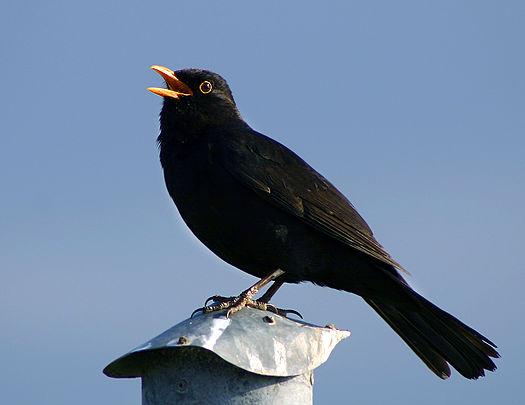 Male blackbird emoting.