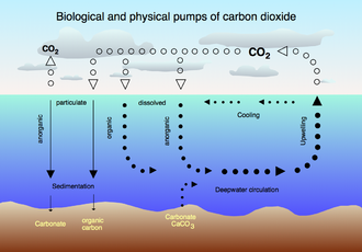 The carbon-dioxide cycle between the atmosphere and the ocean.