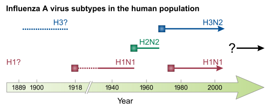 The various  influenza viruses in humans. Solid squares show the appearance of a new strain, causing recurring influenza pandemics. Broken lines indicate uncertain strain identifications.