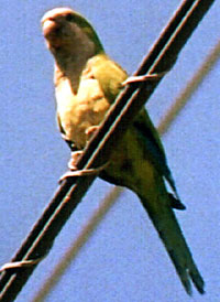 Monk Parakeet.