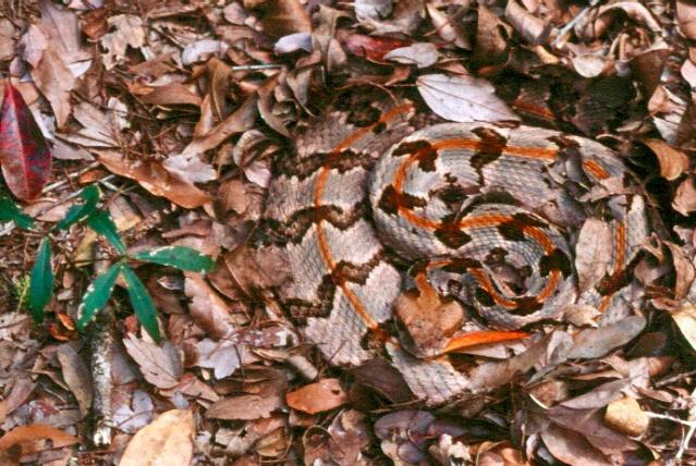 Timber rattlesnake well camouflaged on fallen leaves.