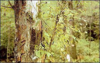 A tree's leaves eaten by gypsy-moth caterpillars.