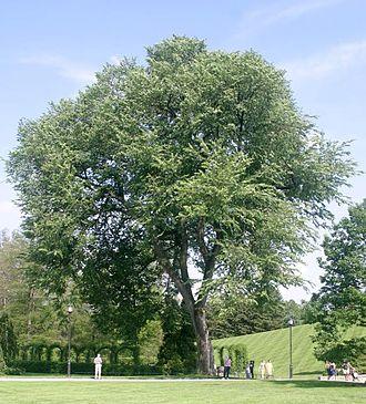 American elm.