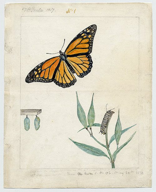 """""""Monarch Butterfly {No. 16} (watercolor,) by Titian Ramsay Peale,    1817, in the show  """"Flora/Fauna: The Naturalist Impulse in American Art,'' at the Florence Griswold Museum, Old Lyme, Conn."""