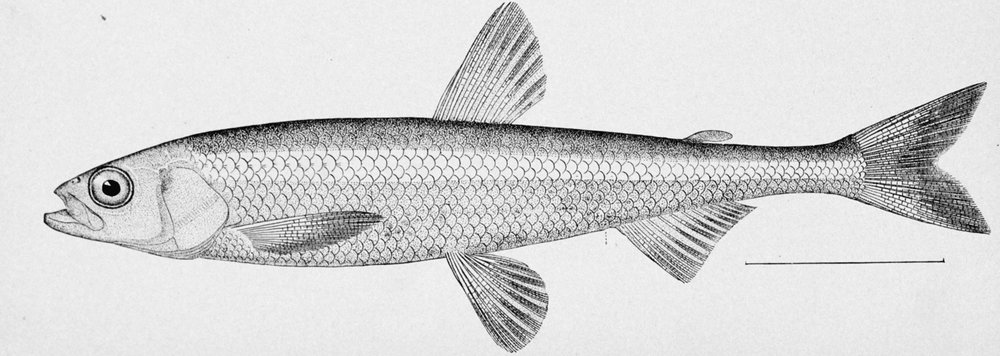 Pond_smelt_illustration.jpg