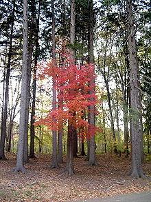 220px-Maple_between_pines.jpg