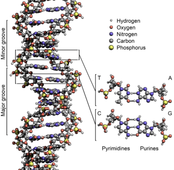 The structure of the DNA  double helix . The  atoms in the structure are color-coded by  element and the detailed structures of two base pairs are shown in the bottom right.    -- Graphic from Wikipedia