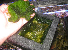 Seaweed being lifted out of top of algae scrubber/cultivator, to be discarded or used as food, fertilizer, or skin care.