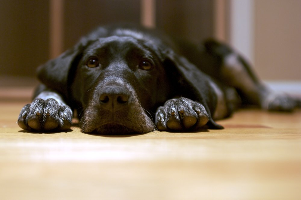 Black_dog_lying_on_the_floor.jpg