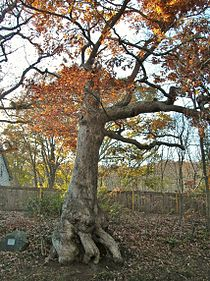 This is the Peaceable Oak, on Route 69 in Bristol,  where Indians met to barter goods and colonists held town meetings when the nearby tavern proved too stuffy in summer.