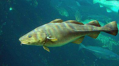 An Atlantic cod.