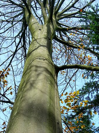 Northern beech in late autumn.