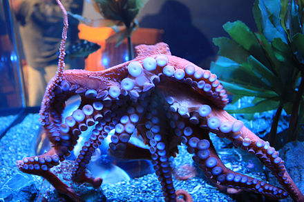 A Giant Pacific Octopus, a species that can be viewed at the New England Aquarium, in Boston.