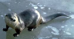 River otters like to slide across the ice of a pond.