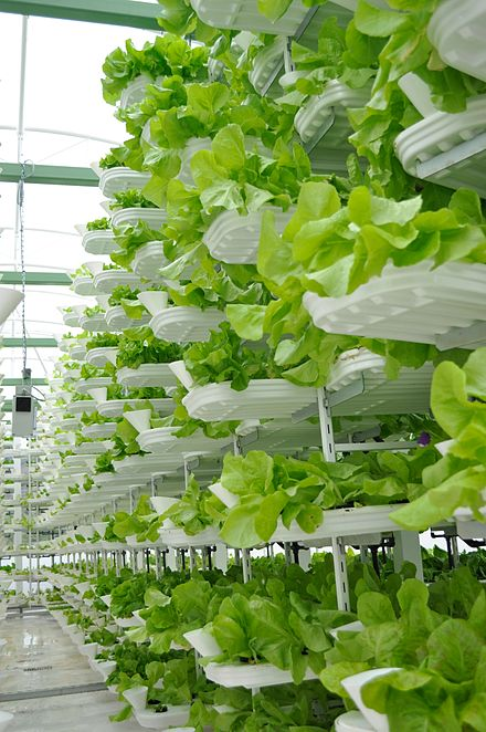 Vertical farming of lettuce.