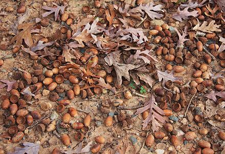 White_oak_Quercus_alba_prolific_acorns.jpg