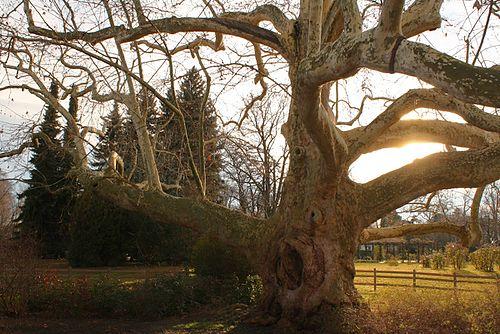 Ancient_plane_tree_in_Baden,_Austria.JPG