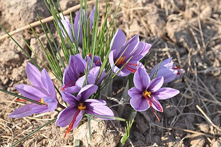 Crocuses, the flowers most associated with March in New England.