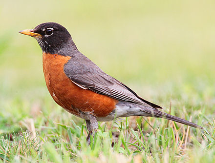 An American robin, one of the most common New England songbirds.