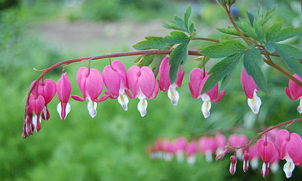 Bleeding Heart.