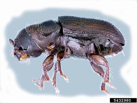 Southern Pine Beetle.