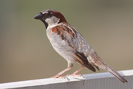 440px-House_Sparrow_mar08.jpg