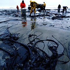 Kelp covered with oil from coastal spill.
