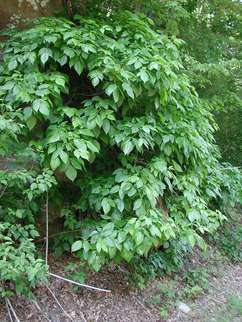 Poison ivy on a roadside    --Photo by Jaknous e