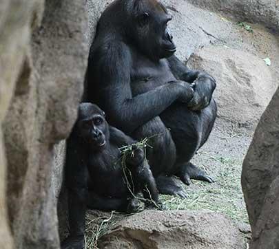 Gorillas at Franklin Park Zoo.