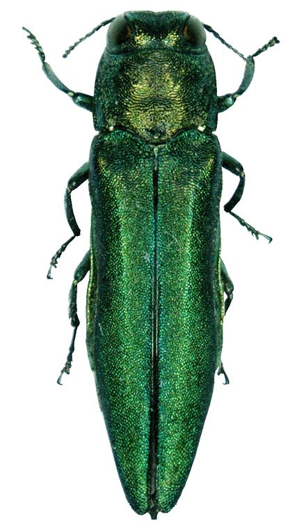 Emerald ash borer.