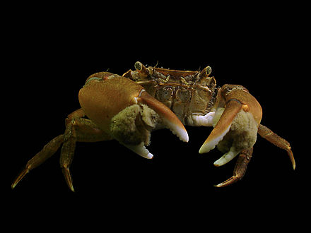 Asian shore crab.