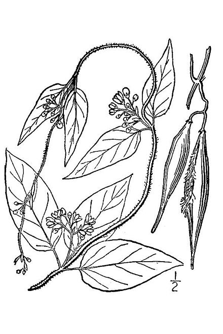 Swallow-wort, a highly invasive vine from Europe that reduces Monarch butterfly populations.