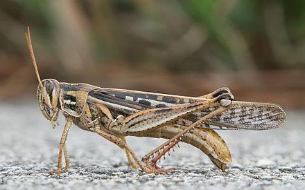 American grasshopper.