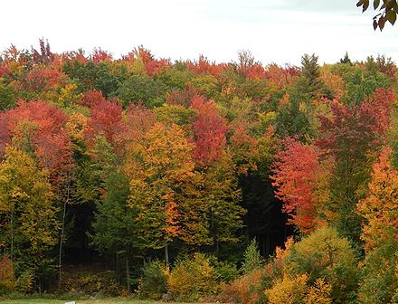 Swamp maples in early fall.