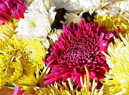 Chrysanthemum   , the November birth flower.