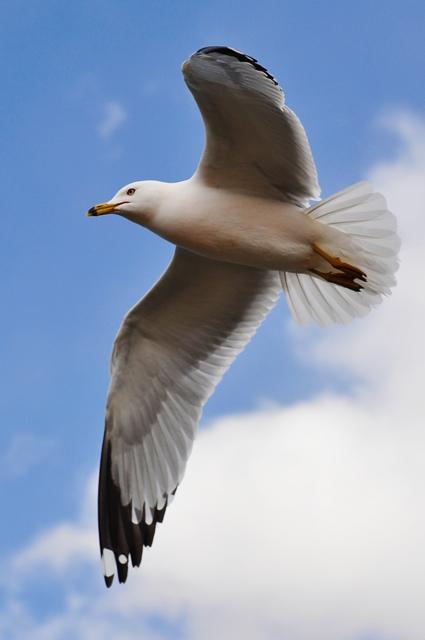 Seagull_in_flight_by_Jiyang_Chen.jpg