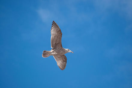 Seagull_flying_in_blue_sky.jpg