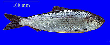 River herring, a migratory species found along the New England coast.