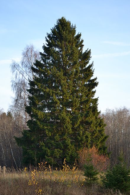 A Norway spruce tree — a species widely planted in New England.